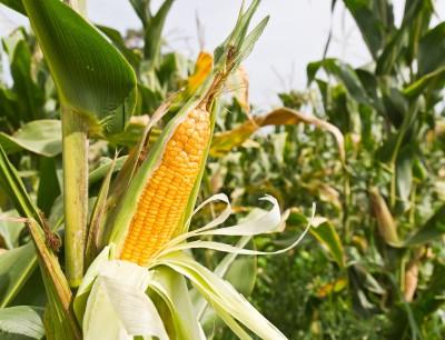 kolba kukurydzy na polu uprawnym