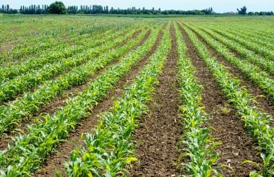 pole młodej kukurydzy