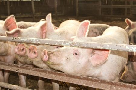 świnie w chlewie