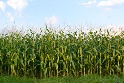 pole dojrzewającej kukurydzy