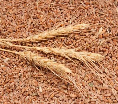 Kłosy zbóż na ziarnie