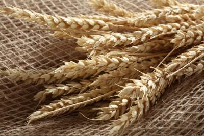 kłosy pszenicy
