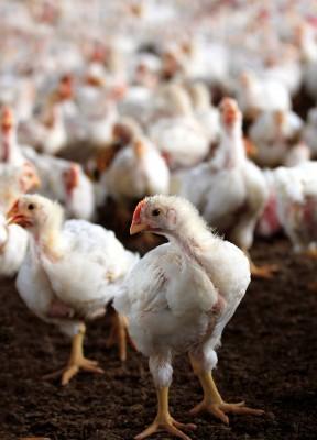 kurczaki brojlery