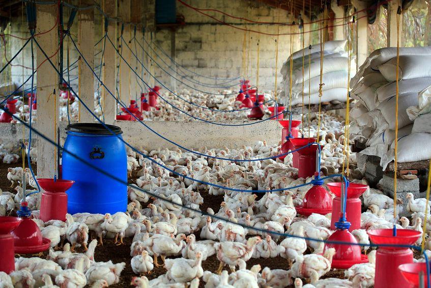 hodowla kurczaków brojlerów