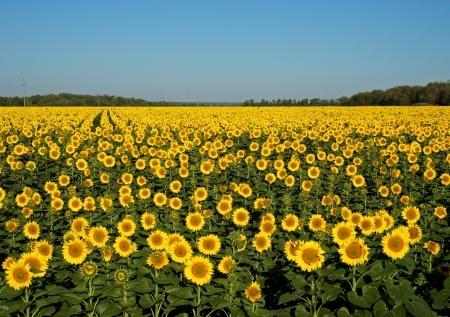 pole słonecznika