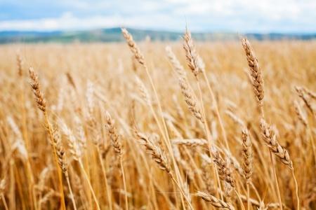 łany zbóż pszenicy