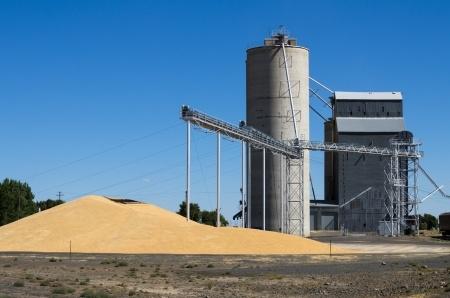 duża ilość ziarna zbóż przed silosem