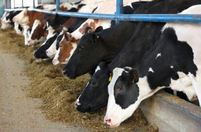 krowy hodowlane