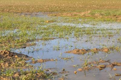 zalane pole zbóż