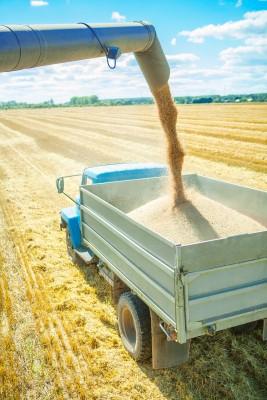 zbiory ziarna zbóż z pól
