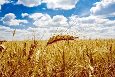 łany pszenicy na polu