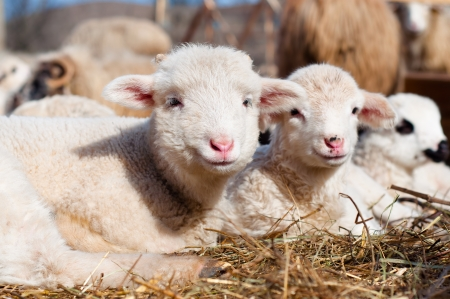 młode owce na łące