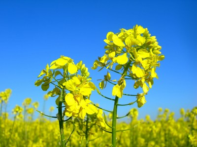 kwiaty rzepaku na polu - zbliżenie