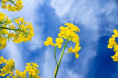 kwiaty rzepaku na tle nieba