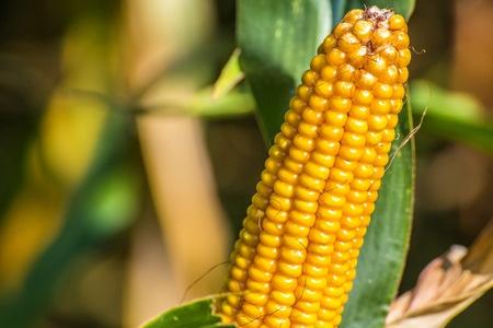 kolba dojrzałej kukurydzy z liśćmi