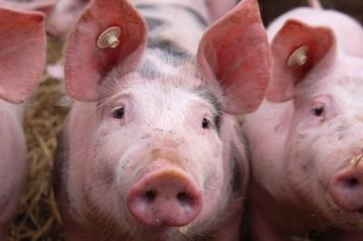 świnie na sprzedaż
