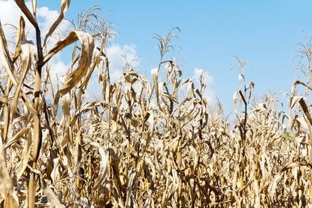 dotknięte suszą uprawy kukurydzy