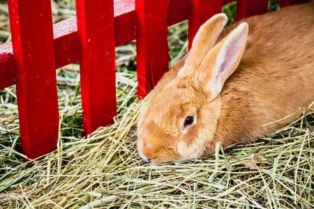 królik w hodowli