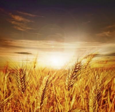 złote kłosy pszenicy przy zachodzie słońca