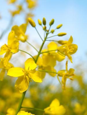 rozwijające się kwiaty rzepaku
