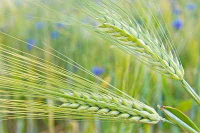 kłosy zbóż na polu