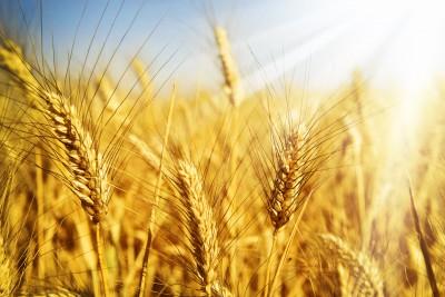 kłosy zbóż oświetlone słońcem