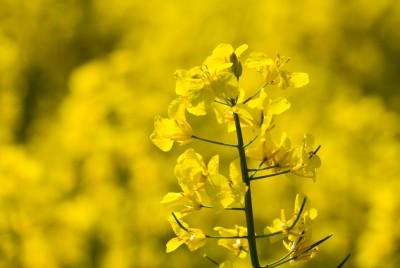 kwiat rzepaku na polu