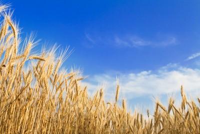 łany zbóż