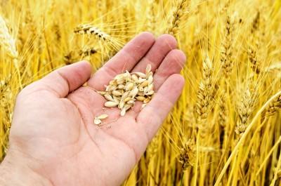 drobne ziarno zbóż