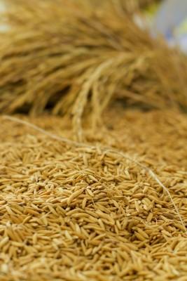 kłosy i ziarno zbóż
