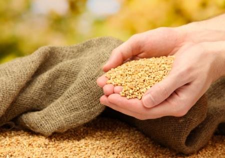 ziarno zbóż w dłoniach rolnika