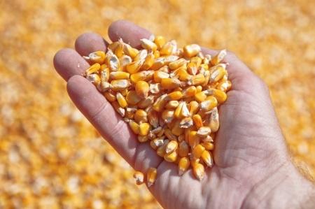 ziarna kukurydzy na dłoni rolnika
