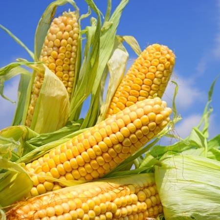kolby kukurydzy na polu