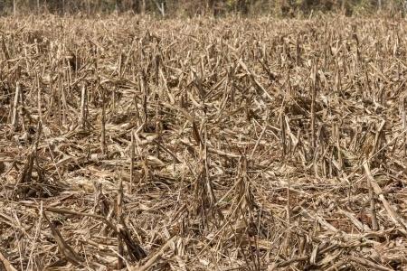 pole zniszczone przez suszę