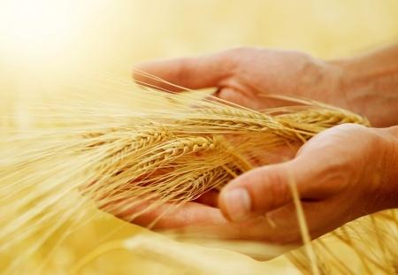 kłosy zboża na dłoniach farmera