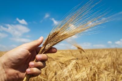 rolnik trzymający kłosy zbóż