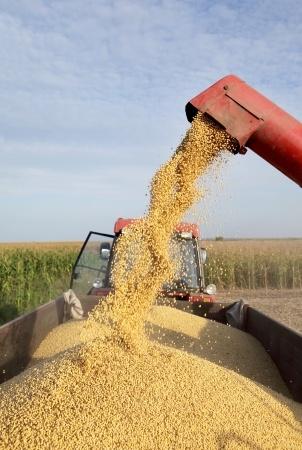 zebrane z pola ziarno kukurydzy